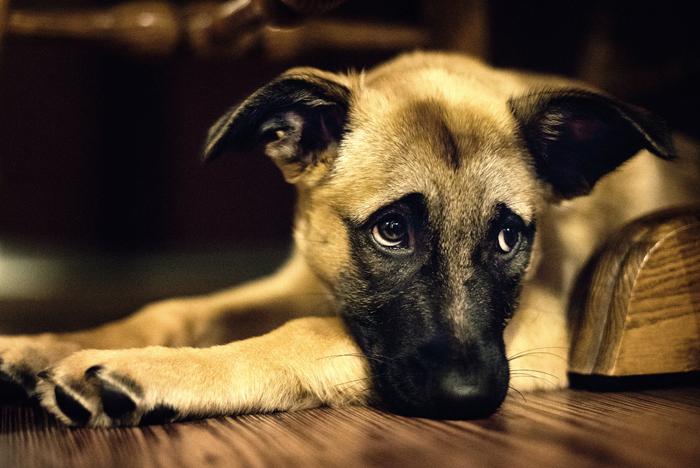 Ventajas y desventajas de la esterilización y castración de su perro