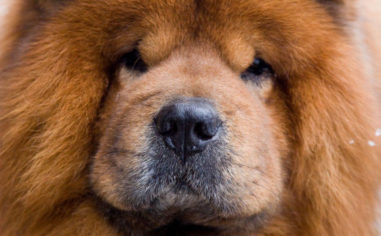 ¿Qué significa la nariz seca en un perro?