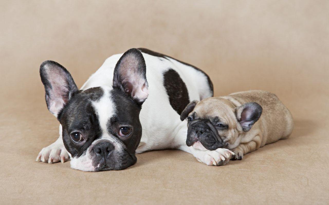 Raza Bulldogs frances, fuerte y cautivador
