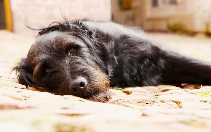 Enfermedad mortal del perro en aumento Proteja a su mascota