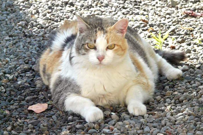 Como prevenir la obesidad felina