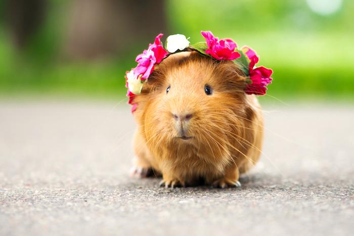 Preguntas mas comunes sobre conejillos de Indias