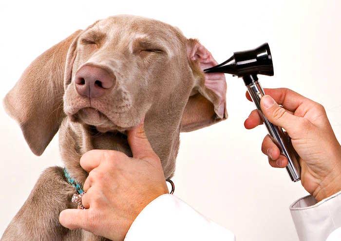 Cura natural para la infeccion del oido del perro