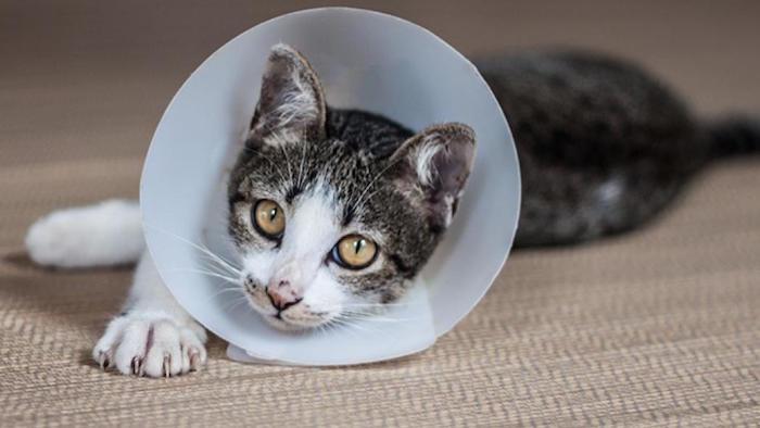 Esterilizacion y castracion de gatos
