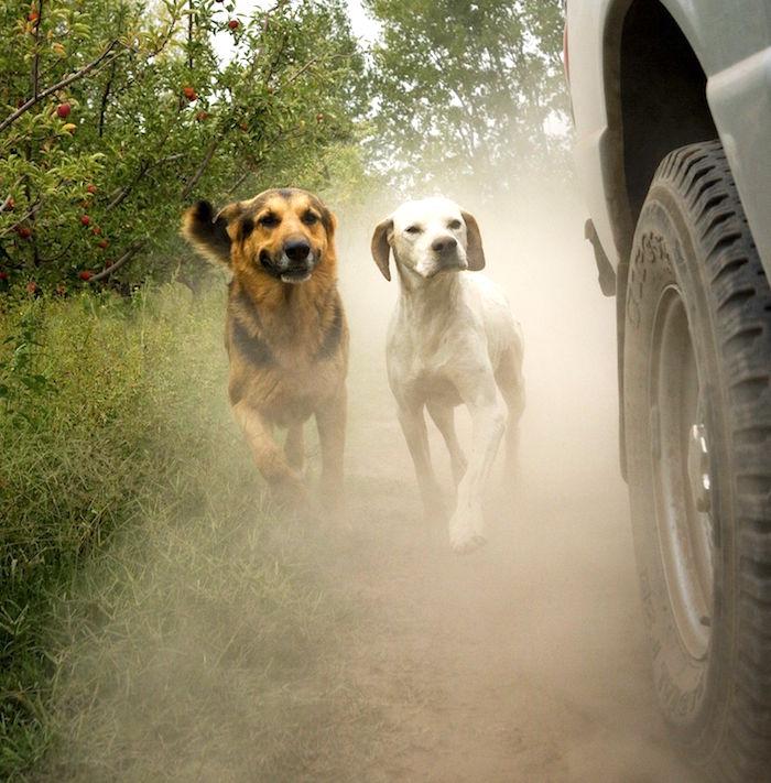 Persiguiendo coches como romper el habito de su perro