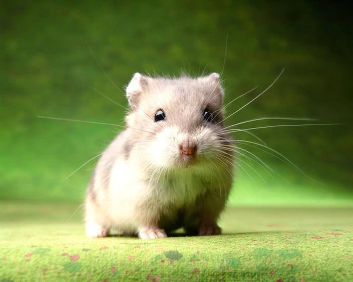 Nuestra guia para comprar un hamster