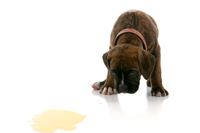 Causas medicas de la suciedad en la casa de los perros