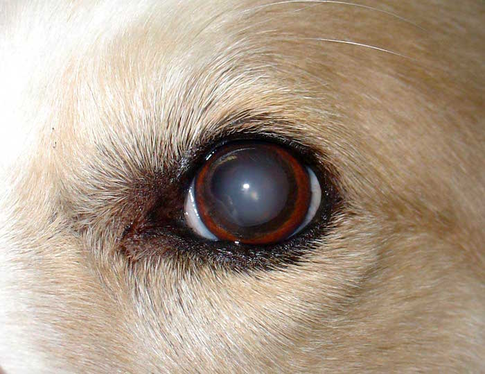 Sintomas de problemas oculares en perros