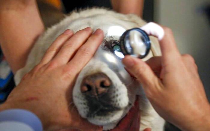 Uveítis ojo suave en perros