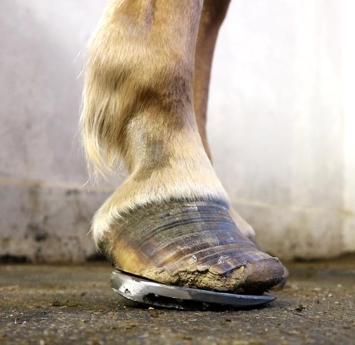 Causas de laminitis en caballos
