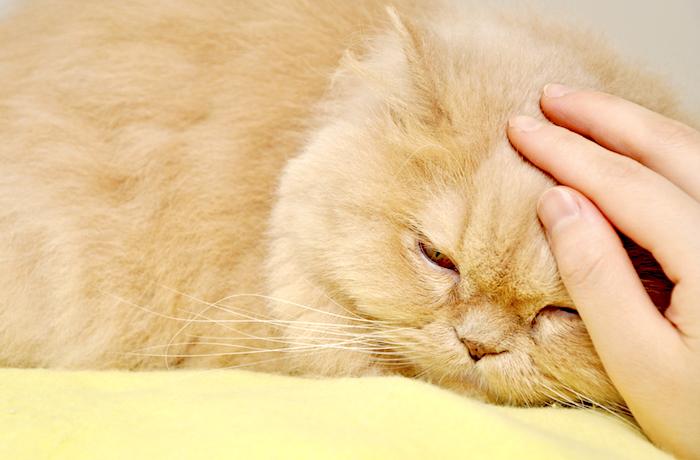 Medicamentos para el dolor seguro para gatos