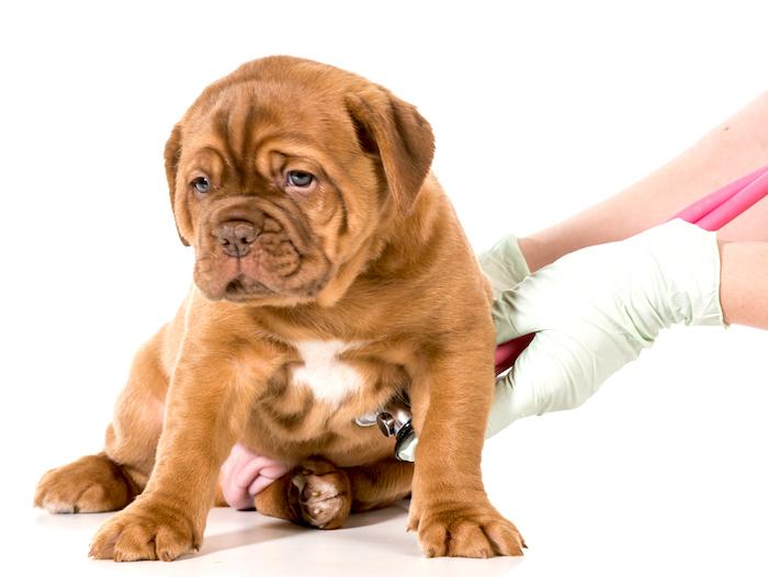 Ulceras estomacales en perros