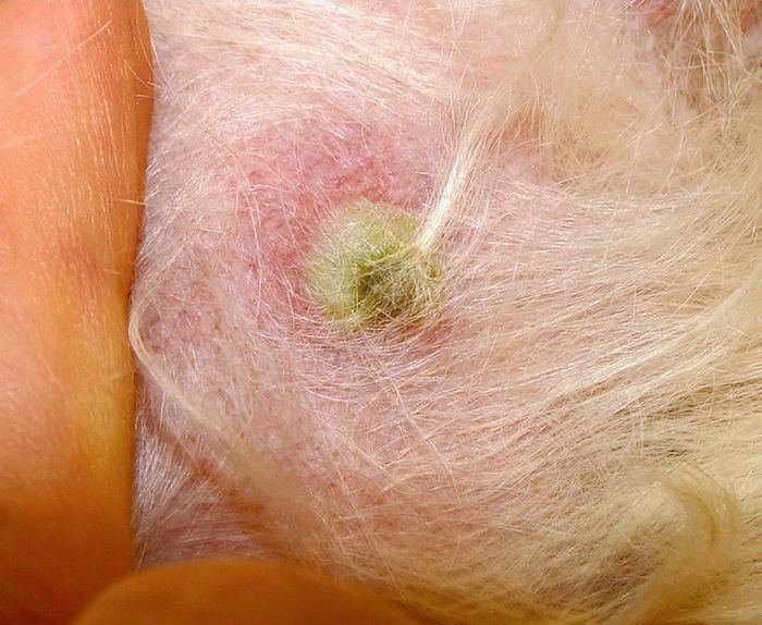 Enfermedades de la piel con drenaje de pus en perros