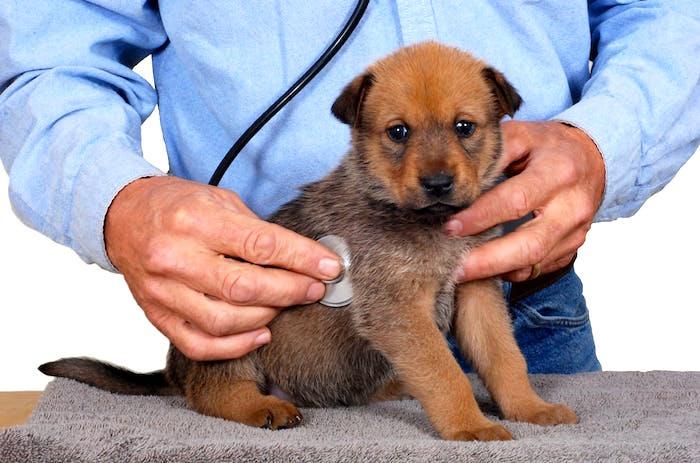 Frecuencia cardiaca y latido irregular del corazon en perros