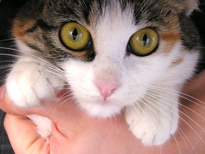 Infeccion respiratoria superior en gatos