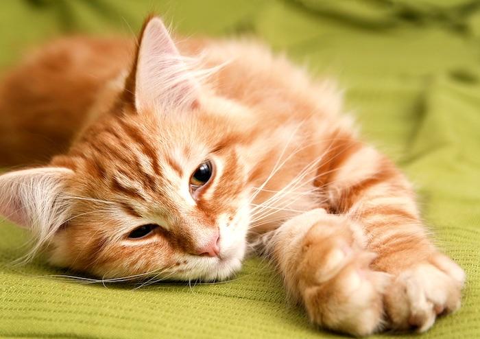 Obstruccion uretral en gatos