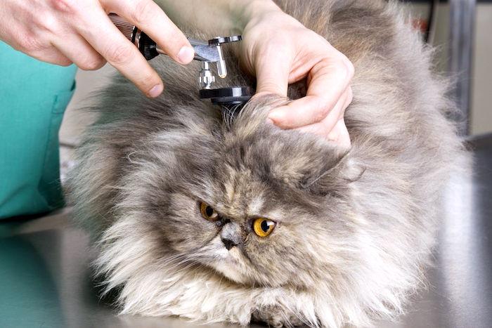 Descarga del oido en los gatos