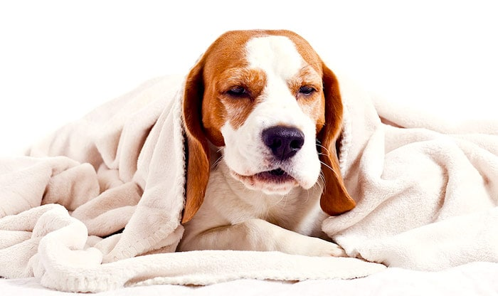 Cuando tu perro no puede dejar de toser