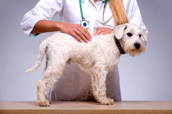 Sarcomas de tejido blando en perros