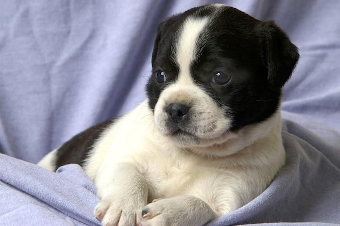 ¿Cuándo debo esterilizar / castrar a mi perro?