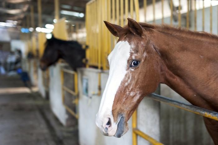 Trauma, conmoción cerebral u otras lesiones cerebrales en caballos
