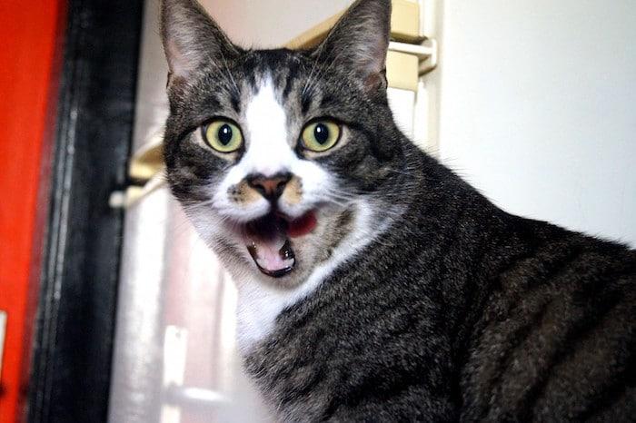 ¿Por qué mi gato maulla tanto?
