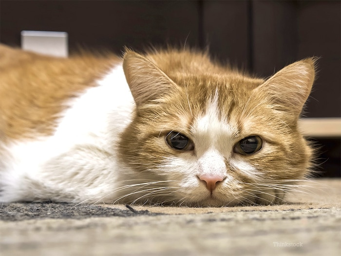 Síntomas de insuficiencia renal en gatos