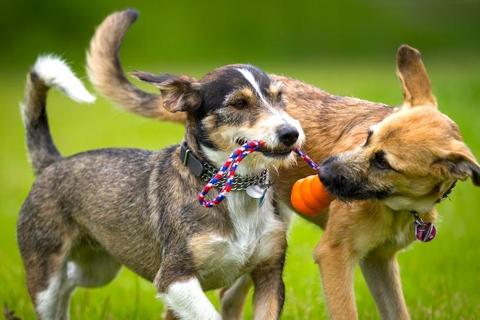 Cómo hacer para socializar un perro adulto