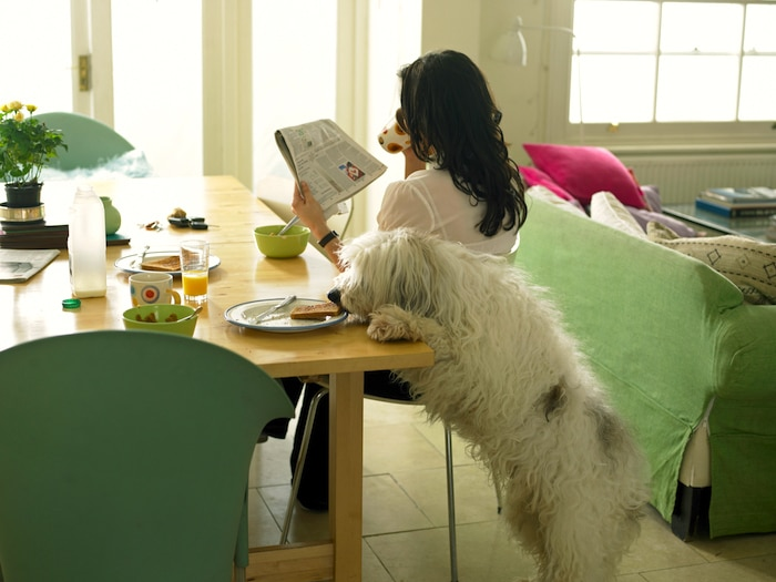 Cómo evitar que su perro mendigue en la mesa
