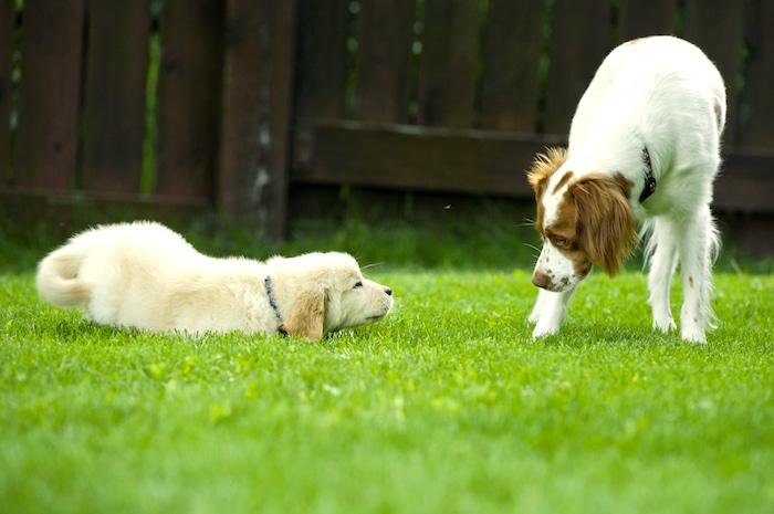 Cómo presentar su perro a un perro nuevo