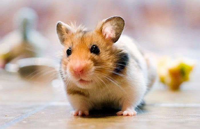 Los fundamentos del cuidado del hamster