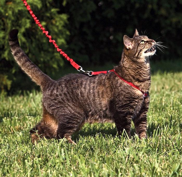 Cómo entrenar a tu gato para usar un arnés y una correa