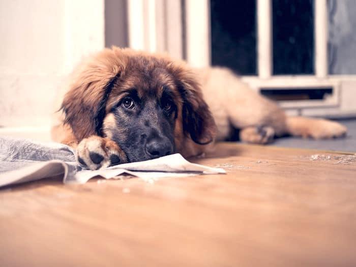 Consejos de entrenamiento en casa para perros adultos