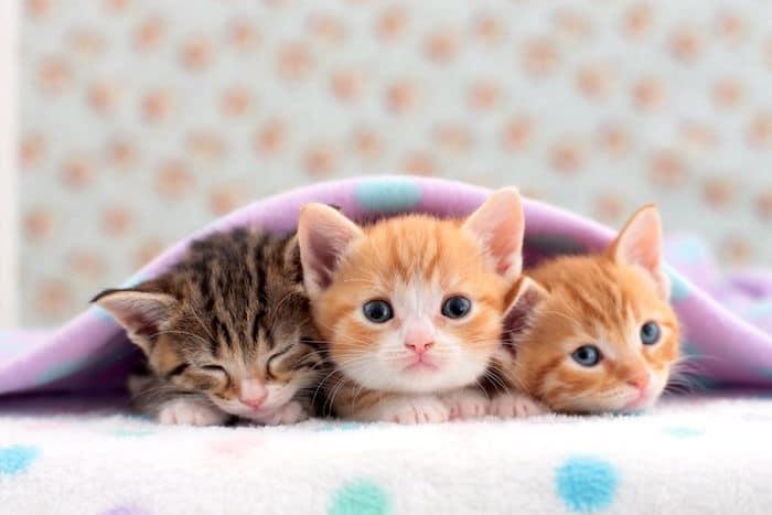 Las razas de gato más pequeñas del mundo