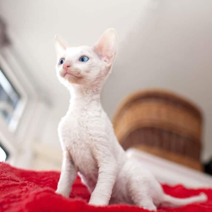10 razas de gatos inusuales