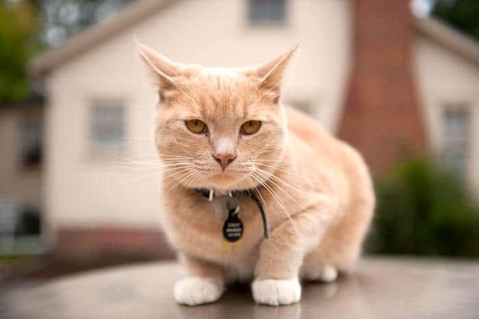 Lo que la forma de la cara de tu gato te dice
