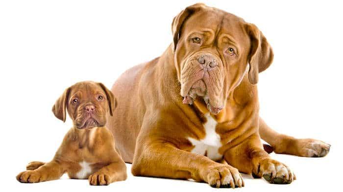 Perfil de la casta: Dogo de Burdeos