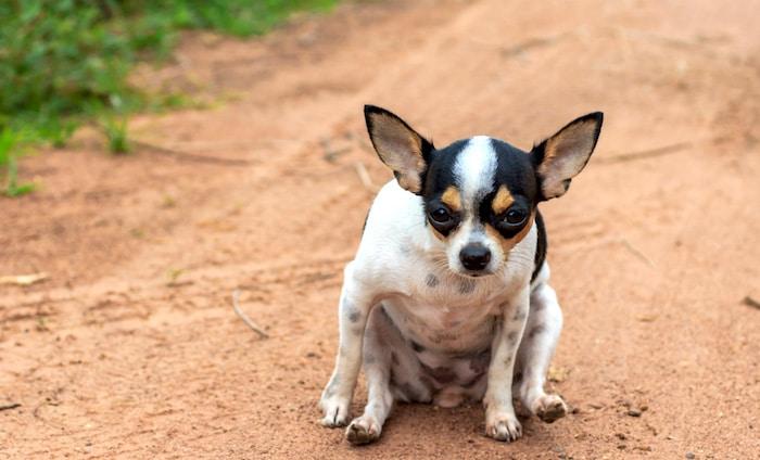 4 razones por las que los perros arrastran su trasero
