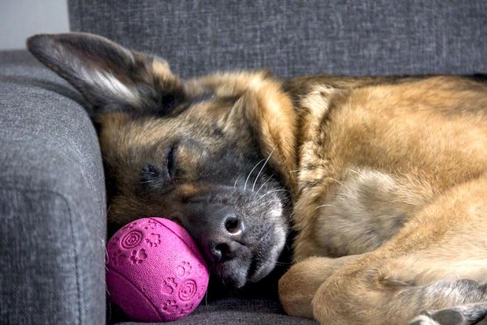Comportamiento del sueño de los perros