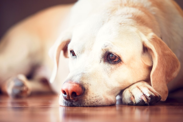 Causas de depresión en perros