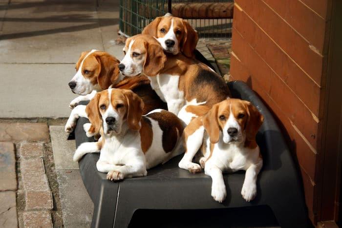 Perfil de la raza: Beagle