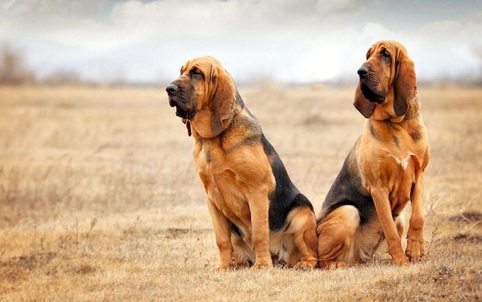 Perfil de la raza: Bloodhound