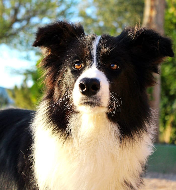 Perfil de la raza: Border Collie