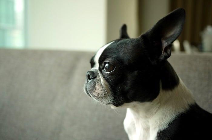 Perfil de la raza: Boston Terrier