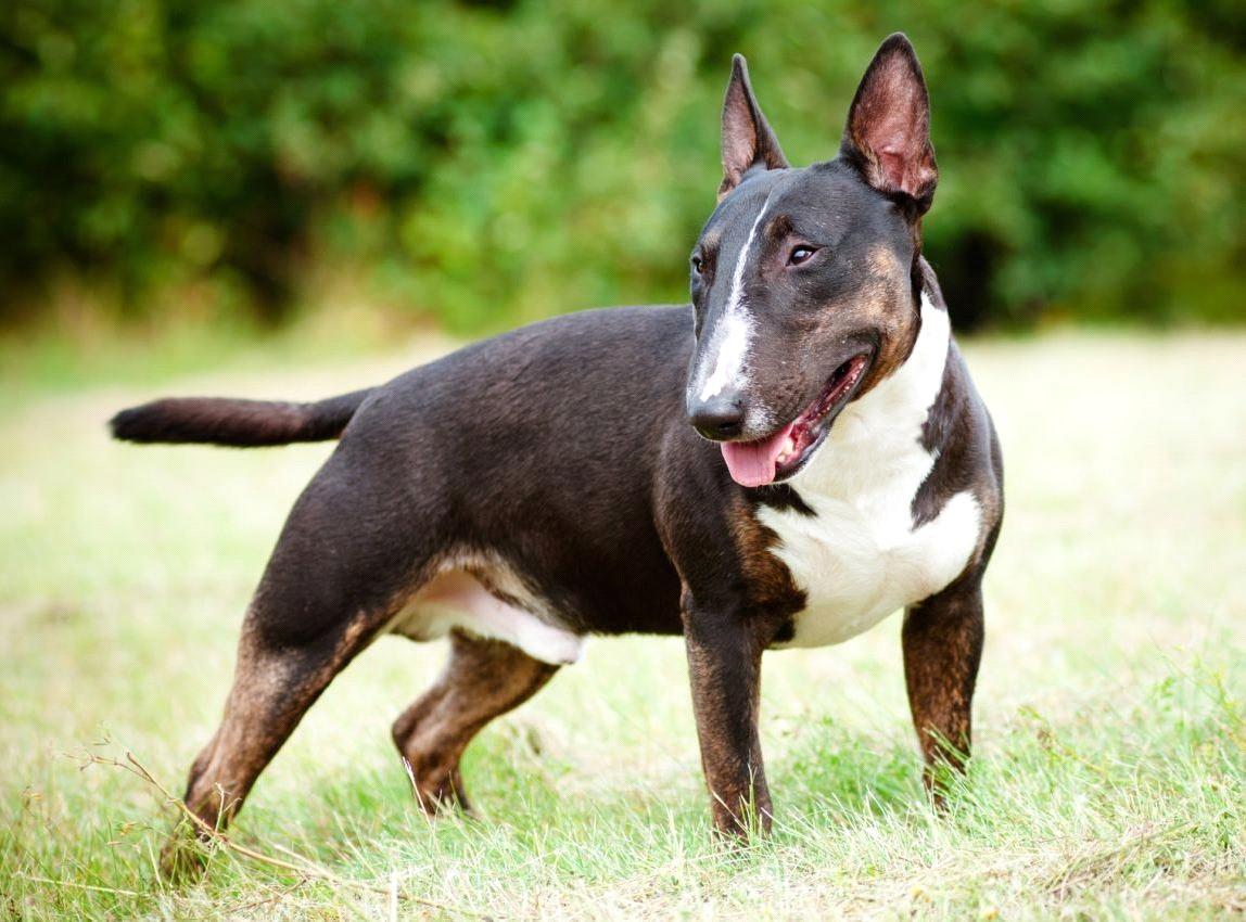 Perfil de la raza: Bull Terrier