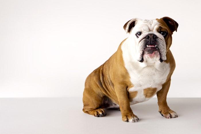 Perfil de la raza: Bulldog Inglés