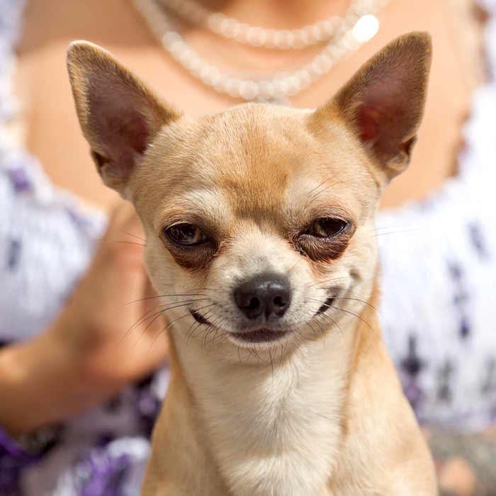Perfil de la raza: Chihuahua