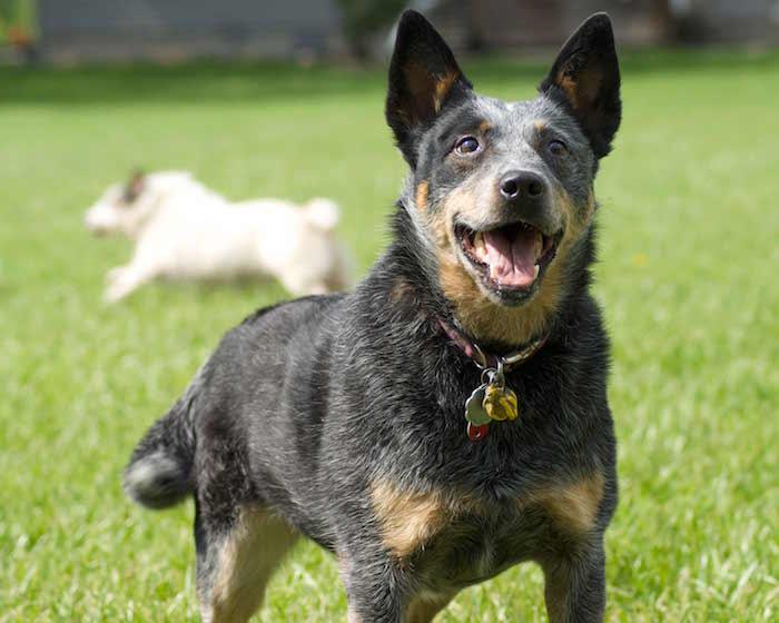 Perfil de la raza: Perro australiano del ganado
