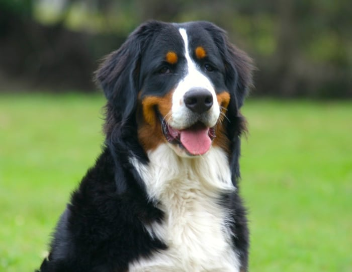 Perfil de la raza: perro de montaña de Bernese