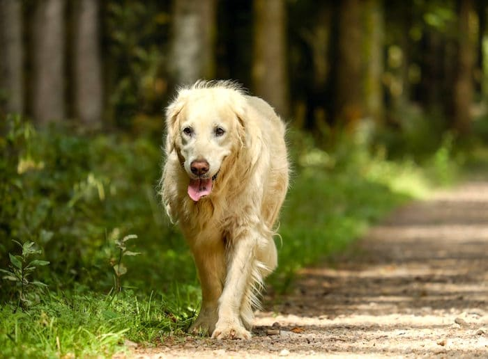 Síntomas de giardia en perros